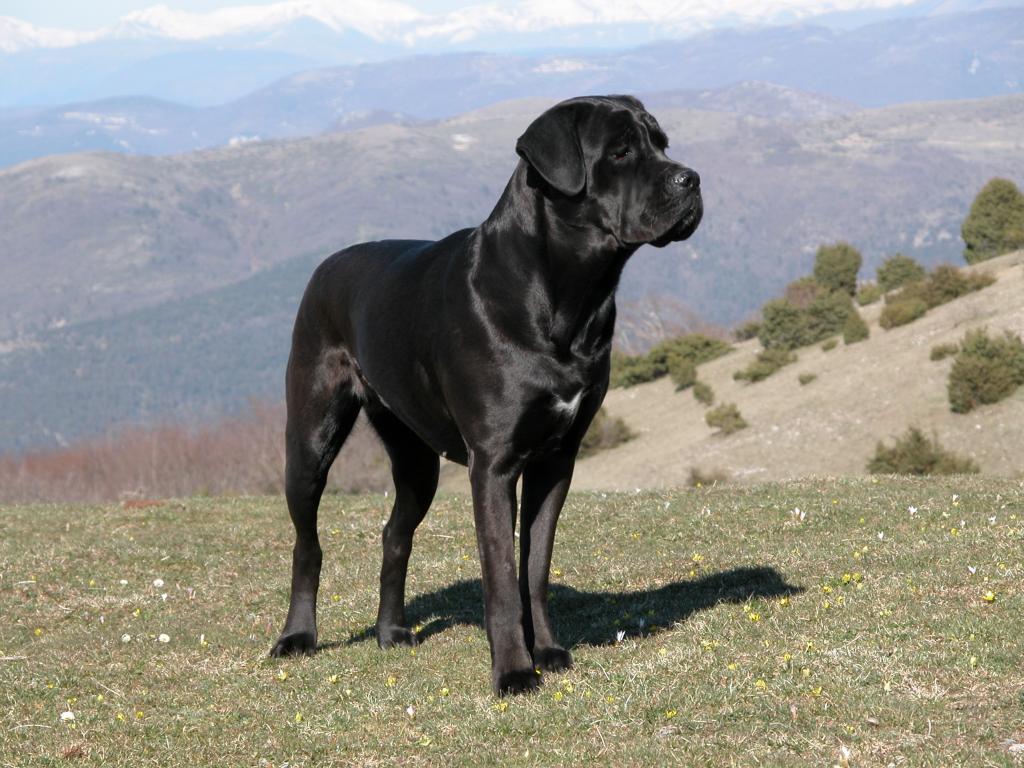 Cane corso : un chien robuste et intelligent